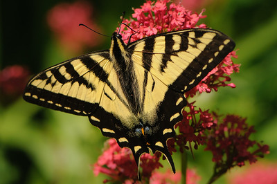 Tiger Swallowtail on Jupiters Beard