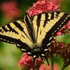 Tiger Swallowtail on Jupiters Beard