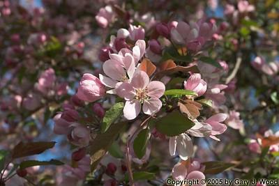 Flowering tree, Marina Del Rey