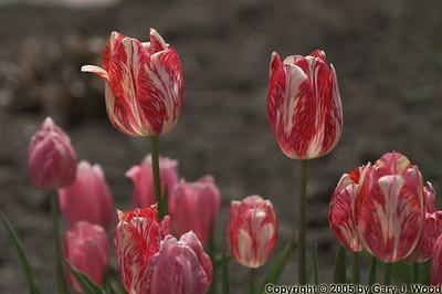 Tulips, High Park