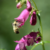 Bumble Bee on Fox Glove