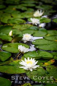 Lilipad Blooms