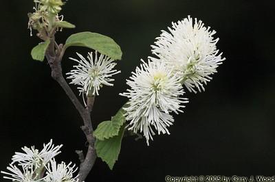 Flowering bush, High Park