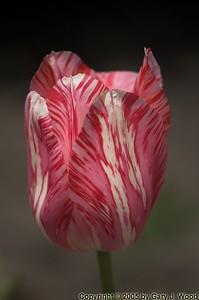 Saturday in the Park: Tulip