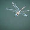 Dragon Fly hovering over the water in Victoria Harbour