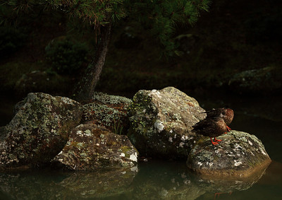 Taking a nap after breakfast, small landscape, Japanese Garden, Hamilton, New Zealand