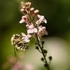 Bumble Bee on Veronica