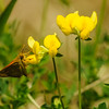 Woodland Skipper Butterfly