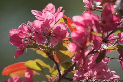 Flowering tree, High Park