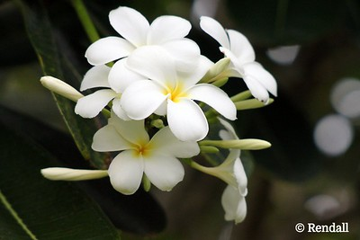 Flower from Samoa