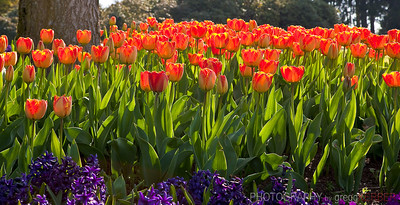 Tulips in Stanley Park, Vancouver, BC