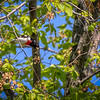 Rose-breasted grosbeak (male)
