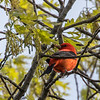 Scarlet tanager - May 2018