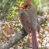 Northern cardinal - Apr 2018