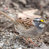 White-throated sparrow - Apr 2018