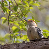 Red-bellied woodpecker - May 2018