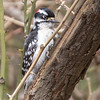 Downy woodpecker - Apr 2018