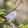 Gray catbird - May 2018