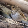 Swainson's thrush - Apr 2018