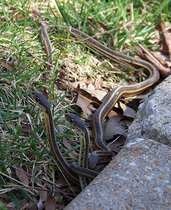 Garter Snakes Under the Sidewalk