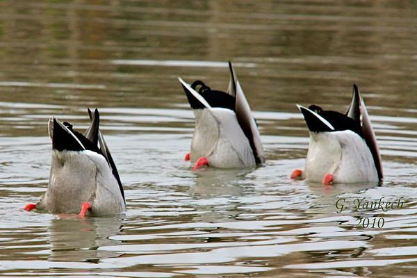 Mallards, Anas Platyrhynchos<br /> <br /> Three mallards feeding in sync. Perhaps they are practicing for the waterfowl aquatic games!