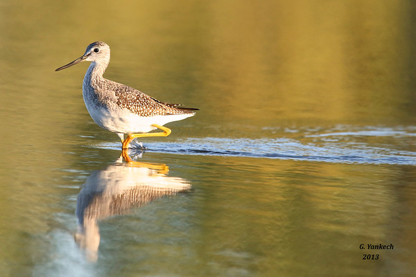 Greater Yellowlegs, Tringa melanoleuca<br /> <br /> Once in awhile, you get those magical moments when the sun is just right and you get a chance to see your subject so vividly. The small, shallow, and muddy  pond where this Yellowlegs was found was not a spectacular place by any means. But  with the right lighting it suddenly  became truly a magical place where the colors pop and shine bright. It might just be a magical place for this Yellowlegs as, with the migration season  nearing its end, it must have found something special about this speck of water,  taking the time to drop in and spend this moment with me.
