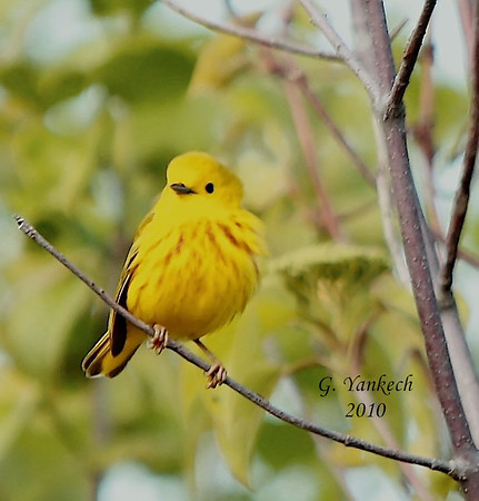 Yellow Warbler, Dendrioca petechia<br /> <br />  My first warbler picture, I was so excited. This cute little Yellow Warbler sparked my interested in bird photography. I love how it clings to and balances on the branch so effortlessly.