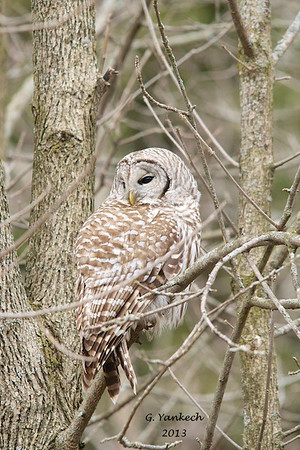 Barred owl, Strix varia<br /> <br /> Cranberry Marsh in Whitby, Ontario is a perfect place for this owl. It has plenty of food to hunt for and many trees for it to roost. This particular owl favours a few such roost right along a trail leading to the marsh lookout platform. Owls are pretty elusive and shy, but I was lucky to see this one, it was too busy hunting to be concerned with people.