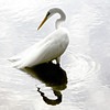 Great Egret, Ardea alba<br /> <br /> I spent my 10th wedding anniversary down in Ft. Lauderdale, Florida. I was lucky enough to visit a few wildlife sites down in the everglades. My first Great Egret, what a beautiful  and elegant bird.