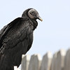 Black Vulture, Coragyps atratus<br /> <br /> I spent my 10th wedding anniversary down in Ft. Lauderdale, Florida. I was lucky enough to visit a few wildlife sites down in the everglades. At Sawgrass Recreation Park, Black Vultures sat motionless on the fence surrounding the alligator exhibit. They might be waiting for free handouts, or scraps of fish or meat.