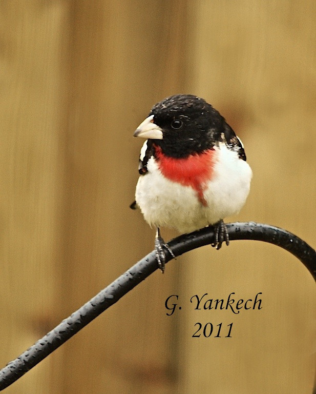 Rose-breasted Grosbeak, Pheucticus ludovicianus<br /> <br /> I live on a street called Grosbeak Crescent. When we relocated to our current home, I vowed to my wife that the first Grosbeak I spot in our backyard I would post a photo on our living room wall. After two years, that day finally came. A pair of mating Grosbeaks spent a few glorious days at our feeders and I was rewarded with this good shot.