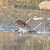 "Wilson' s Snipe, Gallinago delicata<br /> <br /> My father-in-law once told me Snipes are very popular to eat  in the Philippines.  With that image in my mind,  seeing this bird for the first time gave me an strange feeling....I  caught myself wondering, ""what would this bird taste like?""  I quickly snapped out of it and enjoyed viewing this rarely seen, out in the open, bird."
