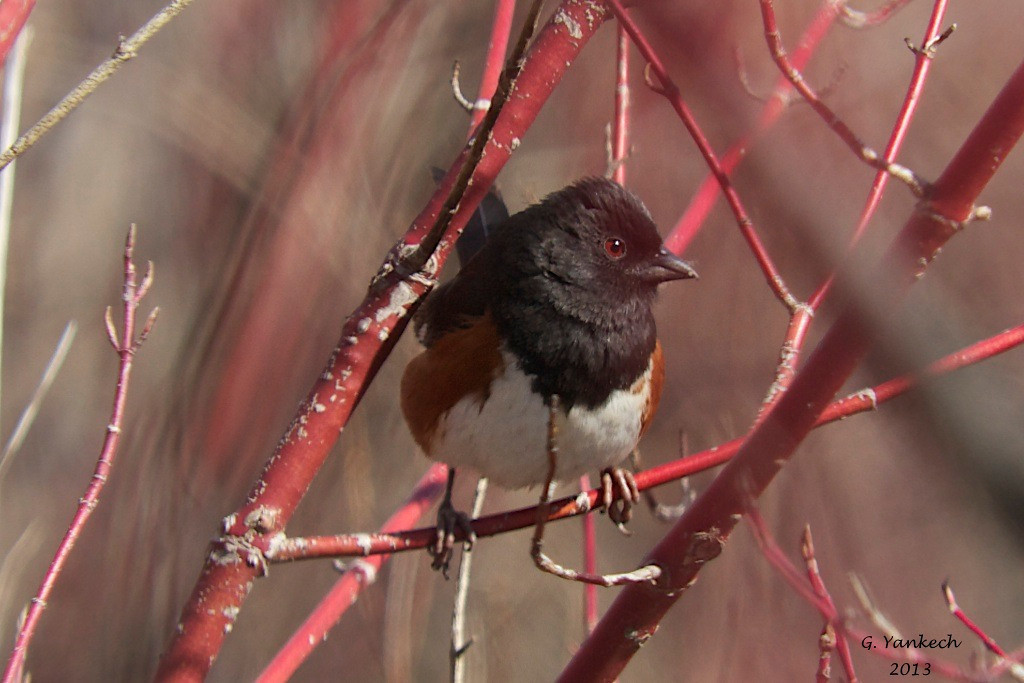 Eastern Towhee, Pipilo erythrophthalmus<br /> <br /> If you are quiet enough, you might hear this bird before you see it. It can be found scratching around in dense thickets and shrubs.  It blends in quite well and is often hidden out of sight. But out in the open, it is quite distinctive.