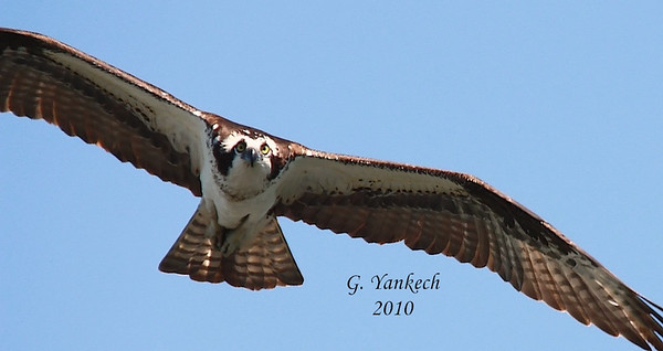 Osprey, Pandion haliaetus<br /> <br /> While fishing up in Hastings, Ontario this Osprey kept returning to the nearby nest platform to check on its chicks. On one swoop in, I managed to get this head-on shot. It was so close, I was not able to get its full wingspan in the frame. Nevertheless, a great shot of this beautiful bird.