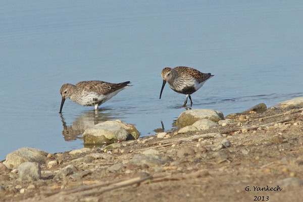 """Dunlin, Calidris alpina<br /> <br /> """"Peep"""". This the name for many of the small  shorebirds that stop by drainage ponds and waterfronts. Shorebirds are hard to identify, many birders use powerful scopes to see the birds unique features closeup to separate them from other species."""