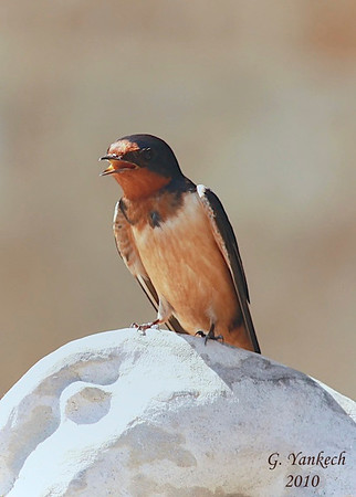 Barn Swallow, Hirundo rustica<br /> <br /> This Barn Swallow greeted me, at the visitor centre, on my first visit to Oak Hammond Marsh, north of Winnipeg, Manitoba. It curiously sat on a nearby rock, heavily breathing in the hot sun.