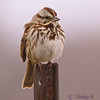 Song Sparrow, Melospiza melodia<br /> <br /> An early sign that spring has arrived, this Song Sparrow was found singing away on a fence post. The misty morning air created a lovely backdrop for this sometimes overlooked but beautiful songbird.