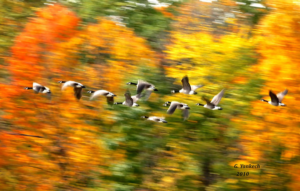 Canada Geese, Branta canadensis<br /> <br /> Rouge Park in the fall is a great place to catch migrating waterfowl. One sunny fall day, I caught  a glimpse of a flock of Canada Geese landing in a nearby pond.  I love the background colours and feel of horizontal movement in this shot.