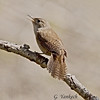 House Wren, Troglodytes aedon<br /> <br /> The song of this Wren is strange and bubbly. Not a particularly striking bird, but still interesting. Secretive in nature, does not come out of hiding too often.