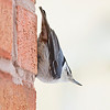 White-breasted Nuthatch, Sitta carolinesis<br /> <br /> Finally, after a few years of waiting, a Nuthatch arrived and checked out my feeders, though it was more interested in scaling the bricks of the house. It even posed, for at least ten minutes,  for this shot.