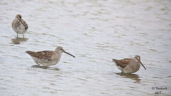 Long-billed Dowitcher, Limnodromus scolopaceus<br /> <br /> Even though there was a light drizzle, I braved the dreary weather to get a glimpse of this passing migrator. I find shorebirds fascinating birds. They only drop by briefly; upon hearing that these dowitcher had been spotted in Whitby I raced over to see them.