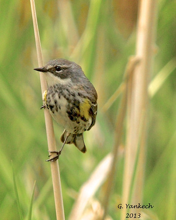 Yellow-rumped Warbler, Dendroica coronata<br /> <br /> One of the more common warbler seen in urban centres, this warbler was having fun playing hide and seek with other warbler friends; I snapped this shot as it peeked out among cattails.