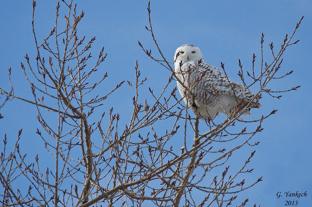 Snowy Owl, Bubo scandiacus<br /> <br /> Frenchman's Bay is situated right off Lake Ontario in Pickering. The bay itself partially freezes over in the winter months. This year, a Snowy Owl took up residence in the area. Some days it was seen right on the bay, blending in with the snow and ice. Luckily, I was able to catch a glimpse of it on a beautiful and clear sunny day.  An American Crow tried to scare off the Snowy Owl from its high perch on the tree but, the owl was simply not budging.