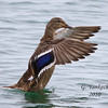 Mallard, Anas platyrhynchos<br /> <br /> Though very drab, compared to its male counterpart, when the female mallard opens its wings, a vibrant blue can be seen.
