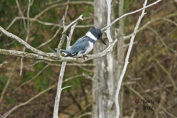 Belted Kingfisher, Ceryle alcyon<br /> <br /> I watched this Belted Kingfisher fishing for thirty minutes, memorizing its circular flight patterns and perch sites. Finally I was afforded a decent shot. He had just dove down to grab a fish and in one gobble devoured its meal in an instant.