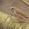 Hermit Thrush, Catharus guttatus<br /> <br /> Thrushes are most found low to eth ground in thick brush or shrubs. They sulk around looking for food. To me the Hermit Thrush song is a fluty and melodic, but also very haunting.