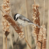 Black-capped Chickadee, Peocile atricapillus<br /> <br /> A year round bird in our area, strangely, this bird was seen in a wet marsh foraging on some cattails. Mostly, I see these birds at my feeder or on hiking trails.