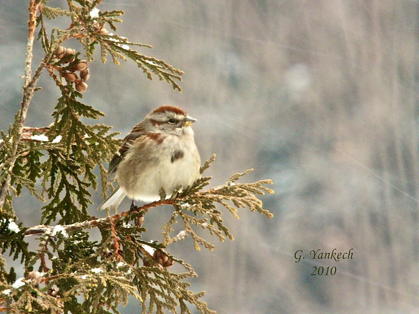 American Tree Sparrow, Spizella arborea<br /> <br /> A winter bird in our area, this cute bird frequents our feeders and the safety of the lone cedar tree. Alas, this tree has since been taken down by an overzealous developer.