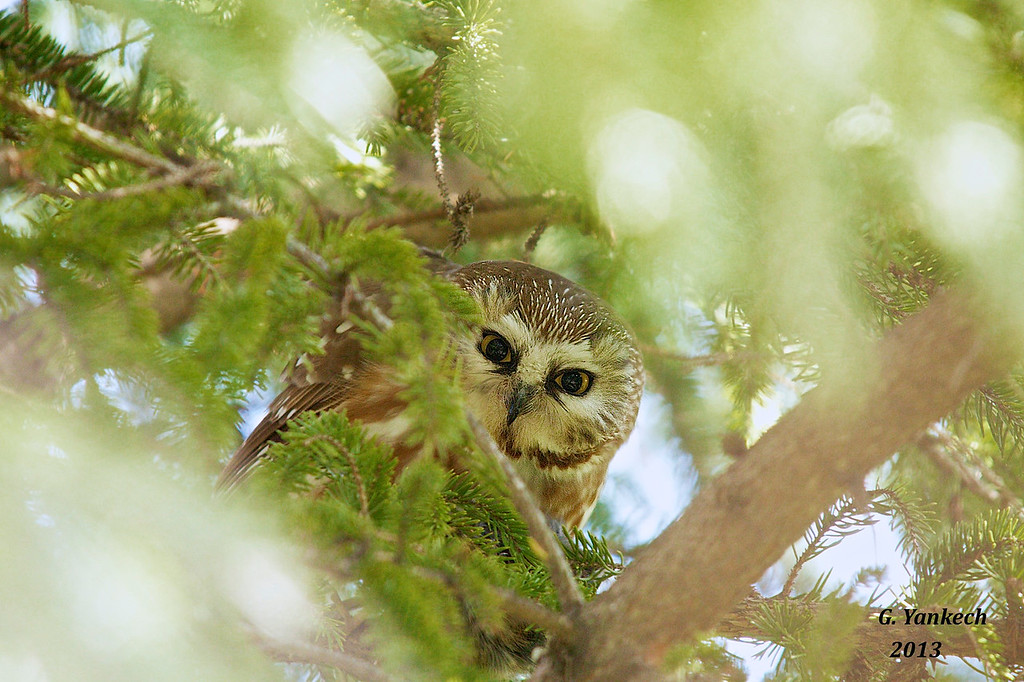 "Northern Saw-whet Owl, Aegolius acadicus<br /> <br /> This owl ""was"" on my wish list for birds to see. After many failed attempts to spot one, I finally got lucky, someone pointed out this small owl tucked away in a pine tree. It was sleeping, but because many people sought to catch a glimpse of this cute owl, it woke up. I happened to lock eyes with it and was memorized by its gaze. It took to eating a quick rodent snack and went back to sleep. Amazing!"