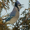 Blue Jay, Cyanocitta cristata<br /> <br /> The arrival of the Blue Jay in our backyard is marked by two events. First is their loud and noisy squawking and second, they do not like to share the feeder and often will chase away other smaller birds.